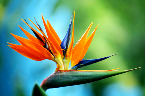Blue_bird_of_paradise_by_massano